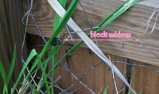 Black Widow in the Backyard. Nice.