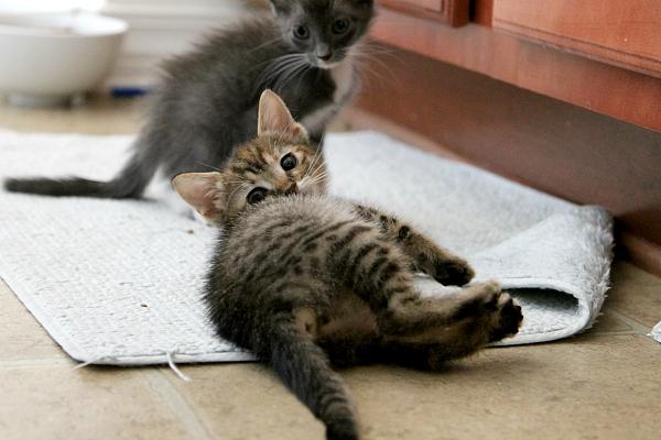 Adopt a Kitten MomDot.com